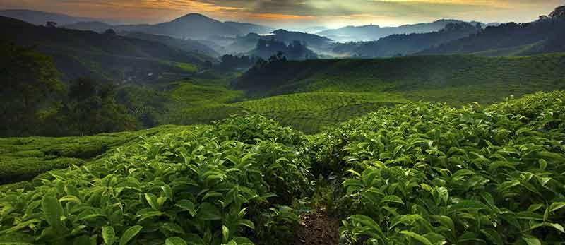kava Carraro plantaže